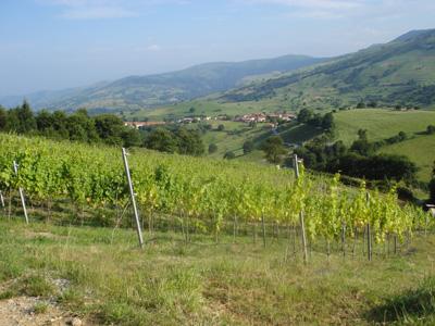 Viñedo Cantabria